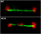 disruption of heterochromatin causes an increased rate of lagging chromosomes during cell division